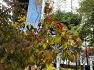 국채보상운동기념공원에  남자한테 참 좋은 효능으로 너무나 잘 알려진 산수유나무,열매,효능,술,차.