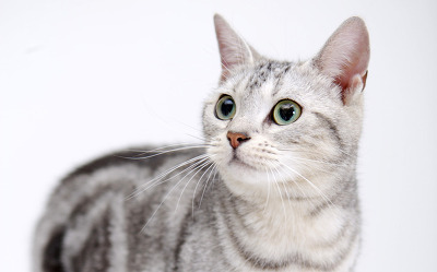 стерилизация кошки показания