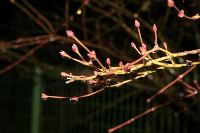 진달래 꽃눈에 이슬은 맺혀