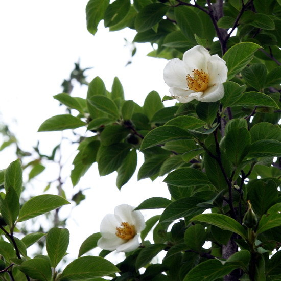 노각나무 이야기