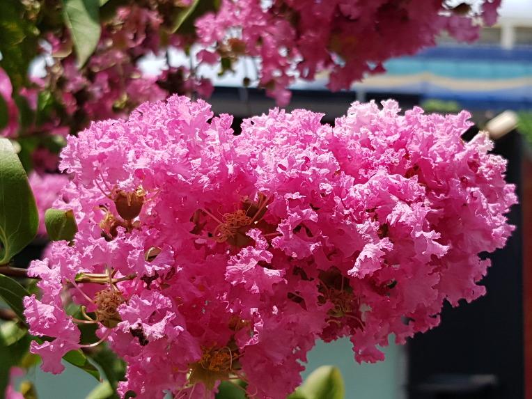 [대구 중구여행] 국채보상운동기념공원에 꽃이 100일간 피고 애절한 전설이 있는 배롱나무(자미화),꽃,효능,전설.